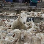 The Saleyard Tours each Friday offer an insight into the farming life of Kiwitea district