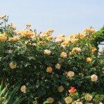 Attractive Rose
