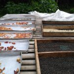 spices drying in the sun