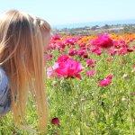 Ranunculus flowers, Carlsbad Flower Fields