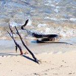 Island snake