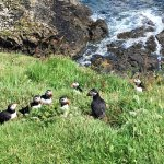 Puffins on the island of Staffa. Only here from May - August.
