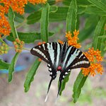 Tiger swallowtail on butterfly weed along the park trail