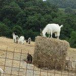 We visited a Cashmere goat farm