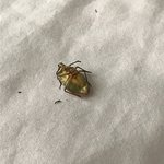 dead bug on bed
