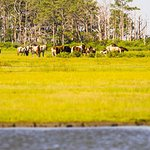 Ace's band of ponies on Assateague Island