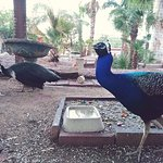 Peacocks, of course.