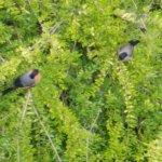 Dompfaff-Pärchen,rechts der weibliche Vogel