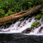 Springs flowing into the Metolius River