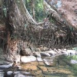 A view of Root Bridge over Maylynnong Waterfall