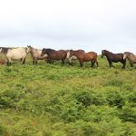 The lovely Lundy horses