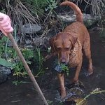 Henry the fox-red labrador, helping to keep the creek flowing properly!
