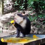 Mangoes are a favorite for the Capuchins.