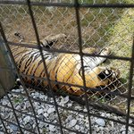 Big Cat Habitat and Gulf Coast Sanctuary Foto
