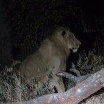 Safari à noite