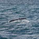 Whale Tail - Westernport Bay
