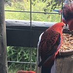 Crimson Rosellas at your door every day