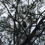 That really is a Koala in the tree, unbelieveable but we saw it!