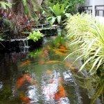 Pond with coy carp