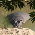 Hippos in the Lodges river