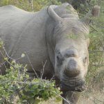 One of Elandelas Rhinos
