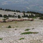Moutons en pâturage Mont Ventoux