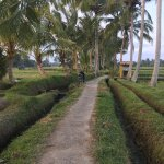 Rice fields walk just couple minutes from homestay
