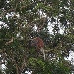 Proboscis monkey sighted on river cruise