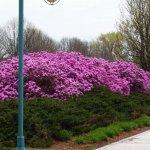 Azaleas blooming along the boardwalk