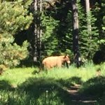 Cinnamon-colored black bear wondering through grounds while having breakfast at the lodge.