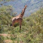 Pilanesburg Safari - Giraffe