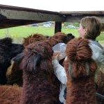 Fun feeding the Alpacas