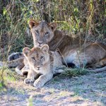 Lions seen 10min drive from camp