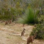 Early morning delight - driving from cabin along dirt road - the kangaroos greeted us!