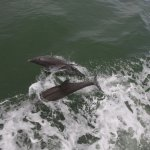 Dolphins showing off