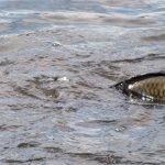 Carp spawning