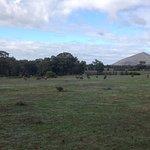 Grazing emus