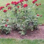la roseraie rosier ELIE SEMOUN