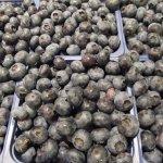 récolte de bleuets