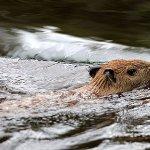 Ronsoco uno de los mamíferos más grandes. Reserva Nacional Pacata Samiria