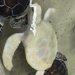 tienen muchas tortugas en acuarios