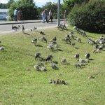 Resident geese