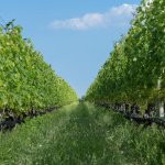 Shinn Estate Vineyards - the vines