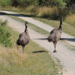 We spotted emus on our last day!