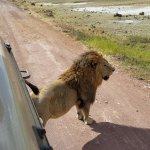 Our guide always knew the best spots for lion spotting