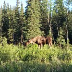 Moose just down road from cabin
