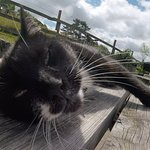 Not so manx cat Laxy. Purring on the picnic table