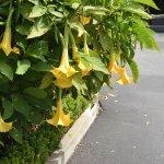 Beautiful Brugmansia!