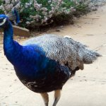 Peacocks roam around the grounds