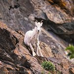 We spotted several Dall Sheep on the rock cuts right next to the road with no long trek required